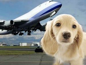 Alt tag not provided for image https://www.airfarewatchdog.com/blog/wp-content/uploads/sites/26/2008/11/Pets_on_Planes-300x225.png
