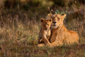 Alt tag not provided for image https://www.airfarewatchdog.com/blog/wp-content/uploads/sites/26/2019/07/Nairobi-Kenya-Lion-Cub-Safari-Africa-Shutter-300x200.jpg