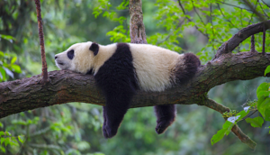 Panda bear relaxing on tree branch in China