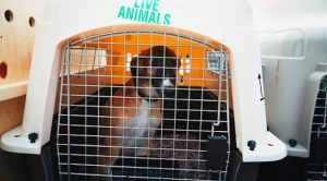 Alt tag not provided for image https://blog.airfarewatchdog.com/uploads/sites/26/2018/03/dogtransport_kennel-300x166.jpg