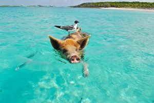 Alt tag not provided for image https://blog.airfarewatchdog.com/uploads/sites/26/2018/07/bahamas_swimming_pig-300x201.jpg