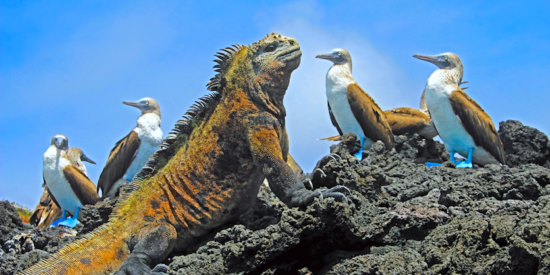 iguana and blue footed boobies in the Galapagos