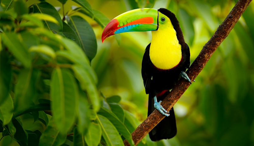 Toucan in Costa Rica birdwatching