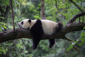 Alt tag not provided for image https://blog.airfarewatchdog.com/uploads/sites/26/2019/03/Chengdu-China-Panda-Sleeping--300x200.jpg