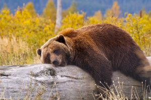 Alt tag not provided for image https://blog.airfarewatchdog.com/uploads/sites/26/2019/05/Alaska-Anchorage-Bear-napping-Wilderness-Nature-Shutter-300x199.jpg