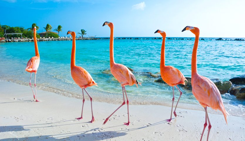 Pink Flamingos on Aruba Beach
