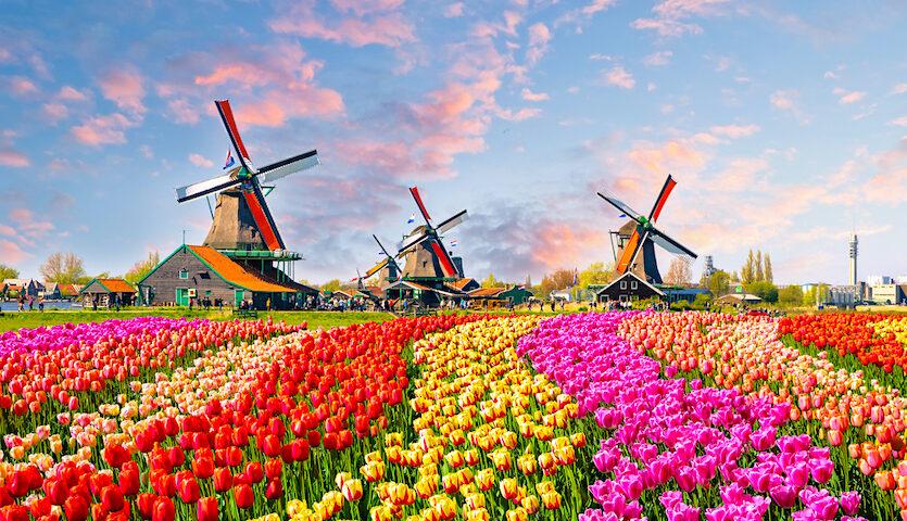 Windmills and tulips near Amsterdam Netherlands