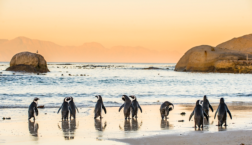Penguins on the beach in Cape Town South Africa