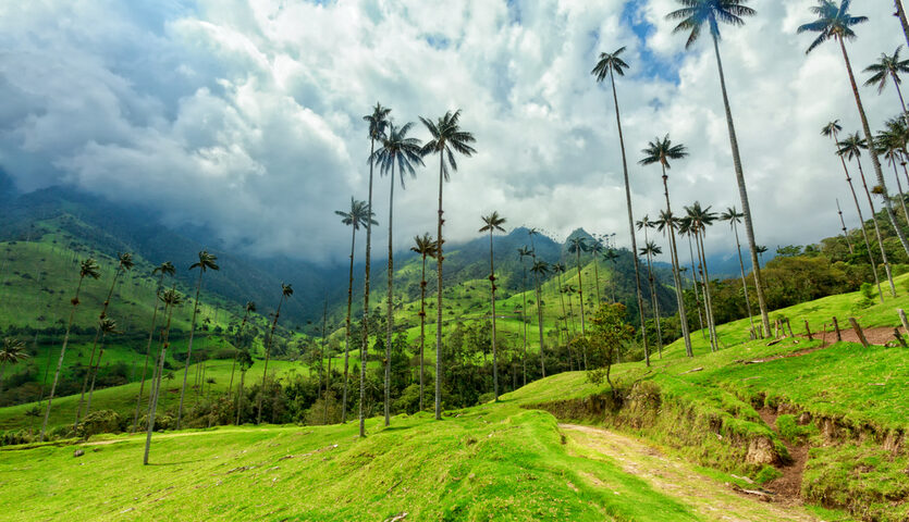 tall palm trees in cocora valley near salento colombia